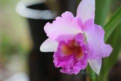 Vanda-Orchidee von Thailand Stockfotos