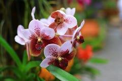 Vanda-Orchideen Stockbild