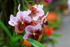 Vanda orchids Stock Image