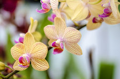 Vanda orchids Stock Photos