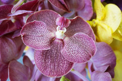 Vanda orchids Royalty Free Stock Images