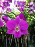 Vanda orchird Στοκ Εικόνα