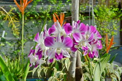 Vanda orkidér Royaltyfri Foto