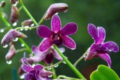 Vanda, orquídea fotografia de stock royalty free