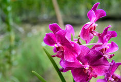 Vanda Penang Currency orchids Stock Photography