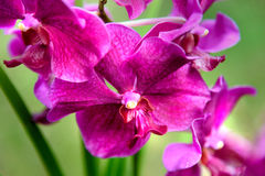 Vanda Penang Currency orchids Stock Photos