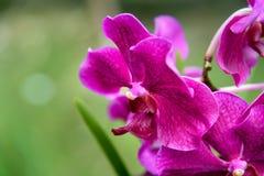 Vanda Penang Currency orchids Royalty Free Stock Photo