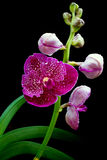 Vanda pink orchids Royalty Free Stock Photos