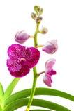Vanda rosa färgorkidér Fotografering för Bildbyråer