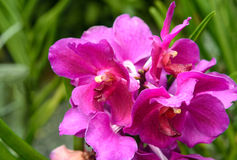 Vanda taib orchids Royalty Free Stock Photography