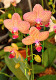 Vanda thai orchid yellow and pink bright Royalty Free Stock Photos