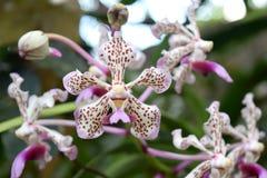 Vanda Tricolor Orchid Royalty-vrije Stock Foto's