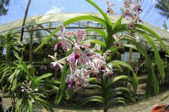 Vanda Tricolor Orchid. Vanda suavis or vanda tricolor flowers, spider-shaped, with three dominant colors in a single petal, white, brownish red and purple Stock Image