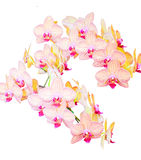Vanda. The white with red striped flowers are on white isolation Royalty Free Stock Photo