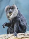 Vander eller Linkworthy macaque Fotografering för Bildbyråer