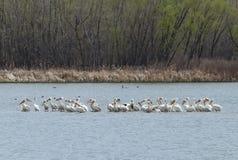 Vandra amerikanska vita pelikan i Cherry Creek State Park, Denver, Colorado arkivfoton