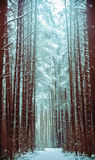 Vandringsled i en snöig barrskog Royaltyfri Foto