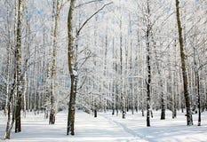 Vandringsled i solig vinterbjörkskog Arkivfoton