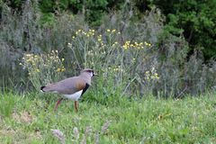 Vanellus chilensis, ein Tero Vanellus-chilensis lampronotus Der Vogel leicht erkennbar durch seinen Schrei und sein schlankes und stockbilder