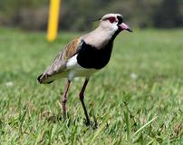 Vanellus chilensis on the green grass Stock Photos