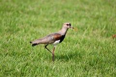 Vanellus chilensis Stock Image