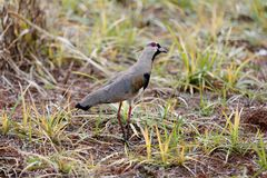 Vanellus chilensis profile in nature Royalty Free Stock Photo