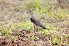 Vanellus chilensis profile Royalty Free Stock Images