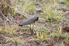 Vanellus chilensis walking on grass Royalty Free Stock Photography