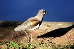Vanellus chilensis walking Royalty Free Stock Images