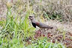 Vanellus chilensis walking in the woods Royalty Free Stock Photo