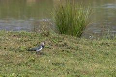 Vanellus del Vanellus de la avefría Imagen de archivo libre de regalías