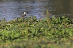 Vanellus del Vanellus de la avefría Foto de archivo libre de regalías