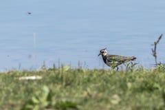 Vanellus del Vanellus de la avefría Foto de archivo