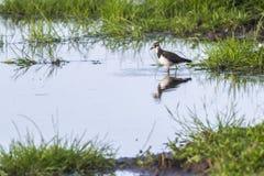 Vanellus del Vanellus della pavoncella Immagini Stock