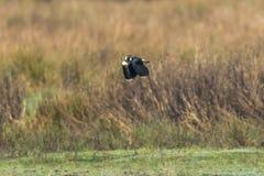 Vanellus del Vanellus della pavoncella Fotografie Stock Libere da Diritti