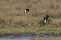 Vanellus del Vanellus della pavoncella Fotografia Stock