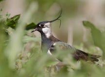 Vanellus del Vanellus Fotografie Stock Libere da Diritti
