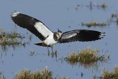 Vanellus du nord de Vanellus de vanneau images libres de droits