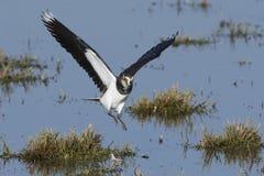 Vanellus du nord de Vanellus de vanneau photo stock