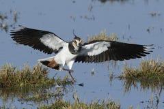 Vanellus du nord de Vanellus de vanneau image stock