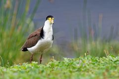 Vanellus miles - Masked Lapwing, wader from Australia. And New Zealand Stock Photography