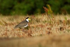 Vanellus miles - Masked Lapwing, wader from Australia. And New Zealand Stock Photo