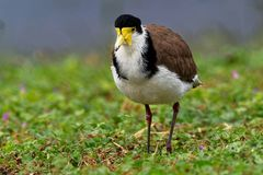 Vanellus miles - Masked Lapwing, wader from Australia. And New Zealand Royalty Free Stock Photo