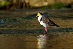 Vanellus miles - Masked Lapwing, wader from Australia. And New Zealand Royalty Free Stock Photos