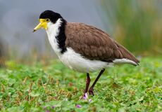 Free Vanellus Miles - Masked Lapwing, Wader From Australia And New Zealand. White, Brown And Yellow Water Bird Stock Images - 199921164