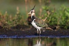 Vanellus nordico del Vanellus della pavoncella Fotografia Stock Libera da Diritti