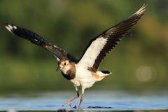 Vanellus nordico del Vanellus della pavoncella Immagine Stock