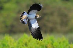 Vanellus nordico del Vanellus della pavoncella Immagini Stock