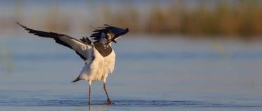 Vanellus vanellus / Northern Lapwing / Kiebitz stock image