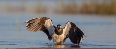 Vanellus vanellus / Northern Lapwing / Kiebitz royalty free stock images